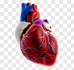Сlipart Human Heart Human Internal Organ Anatomy Healthcare And Medicine Heart Surgery 3d cut out BillionPhotos