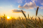 Сlipart Sunrise Wheat Field Landscape Prairie photo  BillionPhotos