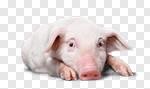 Сlipart farm pig white pigpen background photo cut out BillionPhotos