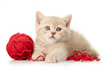 Сlipart Domestic Cat Kitten Wool Playing Pets photo  BillionPhotos