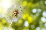Сlipart Dandelion Wishing Blowing Pollen Wind Seed   BillionPhotos