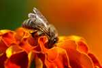 Сlipart Bee Flower Honey Bee Single Flower Pollination photo  BillionPhotos