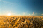 Сlipart Field Wheat Crop Sunset Agriculture photo  BillionPhotos