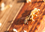 Сlipart Bee Honey Bee Honey Manual Worker Development photo  BillionPhotos