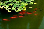 Сlipart Goldfish Fish Fish Tank Animal Gold photo  BillionPhotos