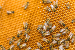 Сlipart Bee Honeycomb Beehive Queen Bee Honey photo  BillionPhotos