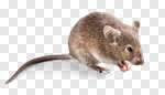 Сlipart Mouse Rodent Animal Isolated Field Mouse photo cut out BillionPhotos
