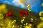 Сlipart Poppy Wheat Meadow Field Red photo  BillionPhotos