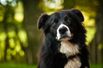 Сlipart Dog Border Collie Isolated White Pets photo  BillionPhotos