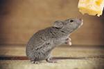 Сlipart Mouse Risk Mousetrap Humor Danger Animal   BillionPhotos