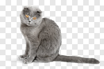 Сlipart cat british gray grey paw photo cut out BillionPhotos