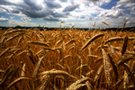 Сlipart Wheat Field Cereal Plant Crop Farm photo free BillionPhotos