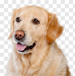 Сlipart golden dog white labrador background photo cut out BillionPhotos