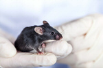 Сlipart Mouse Laboratory Animal Animal Testing Research photo  BillionPhotos