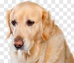 Сlipart golden dog white labrador background photo cut out BillionPhotos