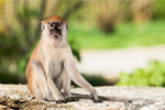 Сlipart Monkey Animal Vervet Monkey Primate White   BillionPhotos