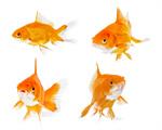 Сlipart Fish Goldfish Gold Isolated Animal   BillionPhotos