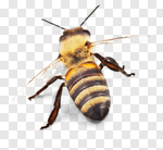 Сlipart Bee Honey Bee Insect Isolated Animal photo cut out BillionPhotos
