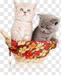 Сlipart Kitten Domestic Cat Group of Objects Animal Basket photo cut out BillionPhotos