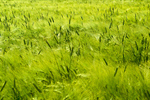 Сlipart Wind Wheat Cereal Plant Field Green photo free BillionPhotos