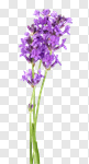 Сlipart Lavender Flower Isolated Purple Plant photo cut out BillionPhotos