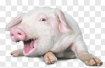 Сlipart farm pig white pigpen background photo cut out BillionPhotos