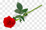Сlipart Rose Stem Long Red Single Object photo cut out BillionPhotos