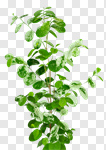 Сlipart plant green greenery houseplant leaves photo cut out BillionPhotos