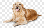 Сlipart Dog Golden Retriever Retriever Sitting Cheerful photo cut out BillionPhotos
