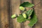 Сlipart Oak Acorn Oak Tree Leaf Branch   BillionPhotos