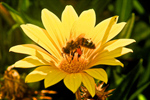 Сlipart Bee Single Flower Honey Bee Sunflower Pollen photo  BillionPhotos