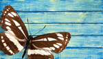 Сlipart Butterfly Insect Wing Blue Collection   BillionPhotos