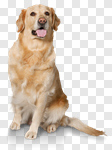 Сlipart dog golden white sitting background photo cut out BillionPhotos