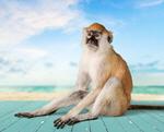 Сlipart Monkey Animal Vervet Monkey Primate White   BillionPhotos
