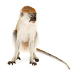 Сlipart Monkey Isolated Animal Vervet Monkey Primate photo  BillionPhotos