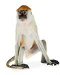 Сlipart Monkey Isolated Animal Vervet Monkey Primate photo  BillionPhotos