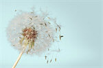 Сlipart Dandelion Wishing Blowing Pollen Wind   BillionPhotos
