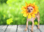 Сlipart Dog Humor Summer Chihuahua Spring   BillionPhotos
