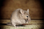 Сlipart Mouse Rodent Isolated Pets White   BillionPhotos