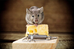 Сlipart Mousetrap Mouse Humor Danger Animal   BillionPhotos