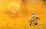 Сlipart Bee Honey Bee Insect Animal Nature   BillionPhotos