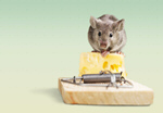 Сlipart Mouse eating cheese of the trap Risk Mousetrap Mouse Humor   BillionPhotos