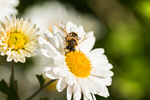 Сlipart Bee Honey Honey Bee Single Flower Daisy photo  BillionPhotos