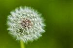 Сlipart Dandelion Blowing Wind Life Seed photo  BillionPhotos