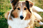 Сlipart Dog Pets Collie Cheerful Happiness photo  BillionPhotos