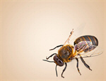 Сlipart Bee Honey Bee Insect Isolated Animal   BillionPhotos