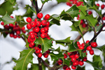 Сlipart Christmas Holly Backgrounds Nature Tree photo  BillionPhotos