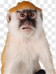 Сlipart Monkey Animal Intelligence Thinking Wildlife photo cut out BillionPhotos