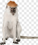 Сlipart Monkey Isolated Animal Vervet Monkey Primate photo cut out BillionPhotos