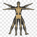 Сlipart Vitruvian Man Human Spine Human Skeleton X-ray Anatomy 3d cut out BillionPhotos